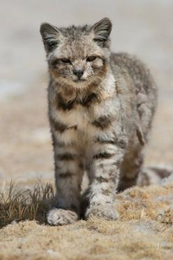 The Andean mountain cat (Leopardus jacobita) is a small wildcat found in the Andes mountains. Fewer than 2500 individuals are thought to exist.: Wild Animal, Wild Cat, Big Cat, Beautiful Cat, Wildcat, Andean Cat, Andean Mountain, Bigcat