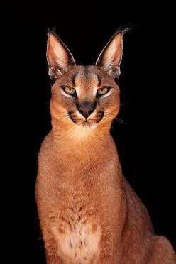 The Caracal /ˈkærəkæl/ (Caracal caracal), also known as the desert lynx, is a wild cat that is widely distributed across Africa, central Asia and southwest Asia into India.: Wild Animal, Mill, Beautiful Cat, Caracal Cat, Big Cats, Beautiful Animal, Sandra