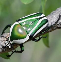 The emerald fruit chafer beetle is only one of more than 300,000 species of beetle. Up next, another impressive beetle.    Gerry Ellis/Getty Images: Beetle Beautiful, Emerald Beetle, Beetles Bugs, Beautiful Bugs, Beetles Stinkbugs, Beatles Bugs Insects, C