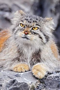 "The manul, an ancient breed of small cats, 12 million years old. They can't be domesticated and are classified as ""near threatened"". They live on the Asian Steppes. Check out the link for lots of photos! (Also called Pallas cat): Wild Animal,"
