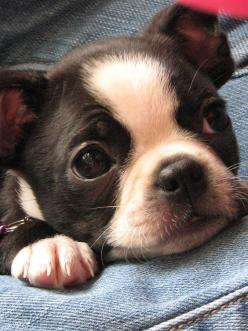 The newest member of our family....Millie.  She is seven weeks old.: Boston Babies, Baby Boston Terriers, Boston S, Boston Terrier Puppies, Bostie, Animal