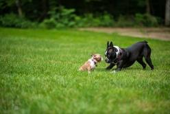The Rigorous Training Program. | Community Post: 10 Reasons Boston Terriers Are The New Corgi: Terriers Community, Boston Terrier S, Corgi Boston, Corgi Bentley, Boston Terrier Training, Bostonterriers, Training Program, Puppy, Boston Terriers