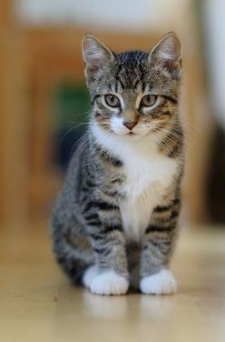 This Pin was discovered by Beth Stratton. Discover (and save!) your own Pins on Pinterest.: Cats Kittens 2, Kitty Cats, Tabby Cats, Cute Cats, White Tabby Cat, Tabby Kitty, Pretty Cats, Cats And Kittens, Tabby Kittens