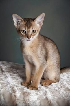 Top 5 Most IntellIgent Cat Breeds: Abyssinian Beauty, Abynissian Cats, Beautiful Cats, Beautiful Cat Breeds, Cat Breeds Abyssinian, Abyssinian Kitten, Cats And Dogs, Abyssinian Cats