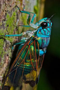Turquoise cicada (Zamarra sp.) Photo: PBertner. Flickr via Fancy That #insects: Insects Spiders, Beautiful Bugs, Creepy Crawler, Bugs Life, Cicada Beautiful, Bugs Insects, Bug S