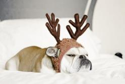 Well if this doesn't just scream Merry Christmas to you...well you need to celebrate Festivus Mr. Ebenezer Costanza: Grumpy Reindeer, English Bulldogs, Bulldog Reindeer, Reindeer Bulldog, Christmas Dog, Happy Holiday, Bah Humbug, Merry Christmas