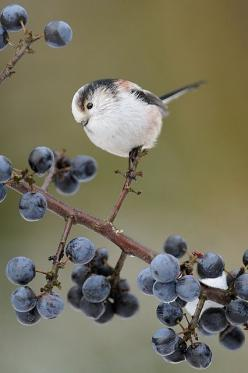 Wistfully Country, blissfulinallthings: (via Birds / Wren)   I love blueberries!: Blueberry Bush, Cute Bird