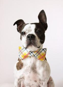 Yellow Plaid Dog Bow-tie - Handmade Dog Collar Accessories - Regular and Large Sizes. $12.25, via Etsy.: Dog Collars, Bow Ties, Cute Pet, Bowties, Boston Terriers, Dog Bows