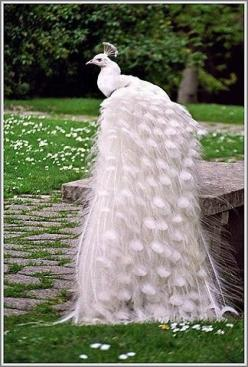 Amazing wildlife - White peacock photo #peacocks: Peacocks Birds, Peacock Beautiful, White Peacocks, Birds Peacocks, Birds Beautiful