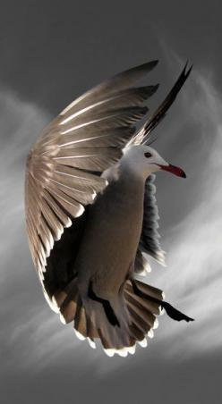 Bird Photography Hover with Cirrus Clouds by susieloucks on Etsy: Birds Flying Photography, Flying Birds, Seagull, Beautiful Birds Flying, Animals Birds, Bird Photography