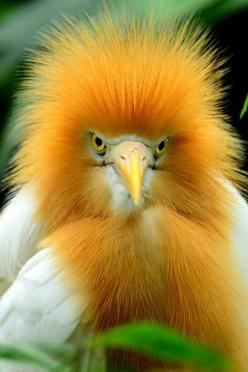 Cattle Egret, a cosmopolitan species of heron found in the tropics, subtropics and warm temperate zones