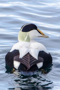 COMMON EIDER - . . . Somateria mollissima . . . northern coasts of Europe, North America, E Siberia. It breeds in Arctic and some northern temperate regions, but winters somewhat farther south in temperate zones, when it can form large flocks on coastal w