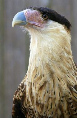 Crested Caracara -- one of my all time favorite birds!