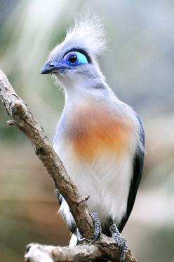 "Crested Coua, Exotic Bird from Madagascar.  ""AMAZING GRACE"" by mc27.: Unusual Bird, Exotic Birds, It S Eye, Amazing Grace, Beautiful Birds, Exotic Animals, Ave"