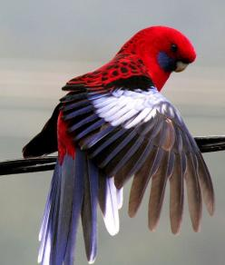 Crimson Rosella (Platycercus elegans). A parrot native to eastern Australia.: Crimson Rosella, Beautiful Birds, Eastern Australia, Rosella Parrot, Animal