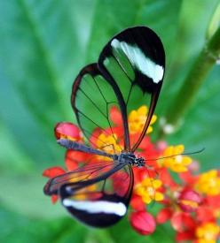 Glass wing butterfly, Panama