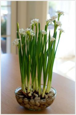 How to plant paperwhites (and keep them from toppling over). I need this - I have some that I got as a Christmas gift and need to be planted.