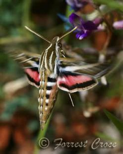 I use to sit and watch the hummingbird moths sip from my mother's garden as a child.  They were my favorite creature, besides the cat:)