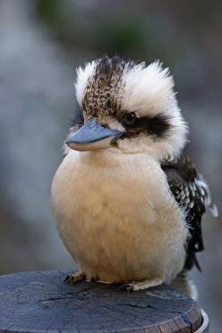kookaburra - I've sung this song for as long as I can remember, and only now am actually seeing what i imagined to be the mighty kookabura - still a bird of tremendous character!