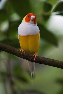 Lady Gouldian finch - yellow by secondclaw.deviantart.com on @deviantART