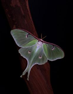 Luna Moth  --  by ashockenberry.. Used to see these growing up all my life in Coker, Alabama.... It's been years tho....