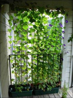 Morning glory vines planted on balcony for privacy....