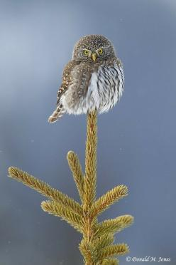 Northern Pygmy Owl by Jim Davies