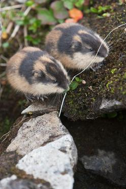 Norway Lemmings