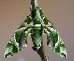 "Oleander Hawk Moth (Daphnis nerii)  by Steve Covey: This female was bred in captivity - but from ova collected in the wild under license from Rhodes, Greece. She has a 90mm [nearly 4""] wing span!! The caterpillars feed on oleander leaves and are immun"