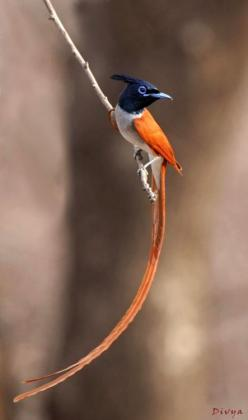 "Paradise Flycatcher "" by Divya Khandal The paradise flycatchers, Terpsiphone, are a genus of monarch flycatchers. The genus ranges across Africa and Asia, as well as a number of islands."