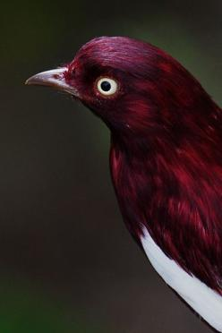 Pompadour Cotinga found in Bolivia, Brazil, Colombia, Ecuador, French Guiana, Guyana, Peru & Venezuela.: Animals, Color, Beautiful Birds, Kotinga Bird, Pompadour Kotinga