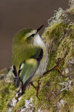 Rifleman (Acanthisitta chloris) (Māori: Tītipounamu) is a small insectivorous passerine bird that is endemic to New Zealand. It belongs to the Acanthisittidae family, also known as the New Zealand wrens, of which it is one of only two surviving species. T