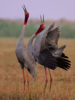 Sarus Cranes | What's New International Crane Foundation