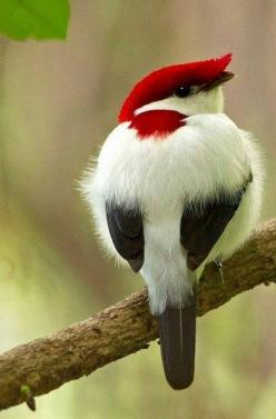 Source: our-amazing-world - http://our-amazing-world.tumblr.com/post/76975215695/araripe-manakin-amazing-world
