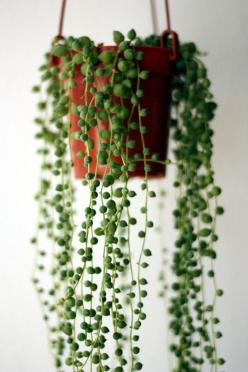 string of pearls plant (Senecio rowleyanus) - this plant is awesome! one of my all-time favourites.