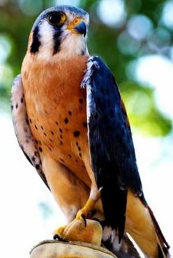 The American Kestrel, sometimes colloquially known as the Sparrow Hawk, is a small falcon, and the only kestrel found in the Americas. It is the most common falcon in North America, and is found in a wide variety of habitats.: Common Falcon, Animals, Nort