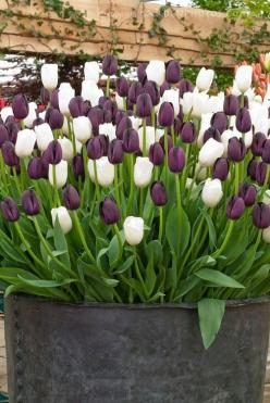 This large zinc pot stuffed with purple and white tulips makes a wonderful focal point.: Garden Ideas, Container Garden, Purple, Outdoor, White Tulips, Favorite Flower