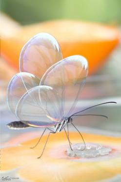 Translucent Butterfly (Greta Oto), via Flickr.: Animals, Butterflies, Beautiful, Butterfly Greta, Greta Oto