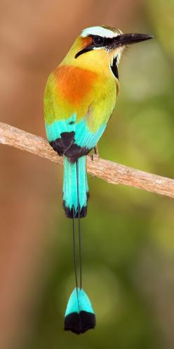 Turquoise-browed Motmot | Bill Holsten Photography