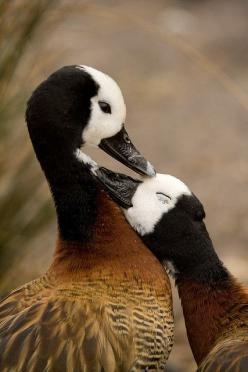 White faced whistling ducks - mutual preening ....  by Capreoluskate on flickr