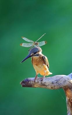 .wow! I think this is a Kingfisher but he looks too thin. They are stubby little guys: Dragon Flies, Beautiful Birds, Rare Photo, Dragonfly, Dragonflies, Animal
