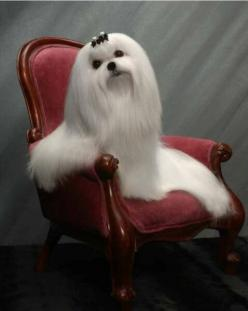Maltese     Beautiful but I don't think this dog would have a very fun life. How could she play with hair like that.: Chair, Maltese Puppies, Maltese Dogs, Maltese Babies, Pets, Animals Dogs Maltese, Richelieu Maltese, Friend, Beautiful Maltese