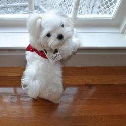 They just look like stuffed animals! This one even comes with a tag! How cute!!!: Bichon, Maltese Puppies, Maltese Dogs, Maltese Puppy, Maltese Pups, Puppys, Maltese Pets, Stuffed Animal
