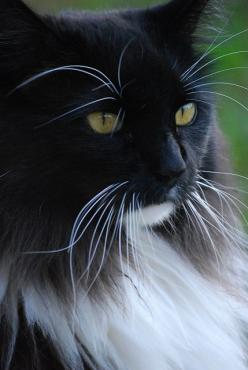 """A cat is a lion in a jungle of small bushes."" --Indian Proverb: Kitty Cats, Beautiful Cats, Maine Coon Cat, Animals Cats, Cats Kittens, White Cat, Baby Cat"