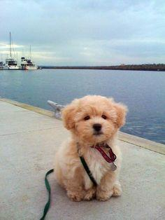 """""""its called the """"teddy bear dog"""" . Half shih-tzu and half bichon frise. Someone buy this for me and I will love you forever!"""