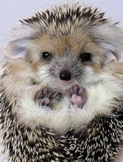 """ Just came from my hair dresser....for under ten dollars I got a wash, cut and a fluff dry!"": Hedgehog Wild, Grumpy Hedgehog, Awww Hedgehog, Adorable Animals, Hedgehog Cuteness, Hedgehog Awwww, Hedgehog Feet, Baby Hedgehog, Hedgehog Squee"