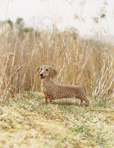 African wiener dogs, despite their short legs, can run 100 mi. in a half hour and are among the fastest land animals. They can even attack a cheetah! LOL!