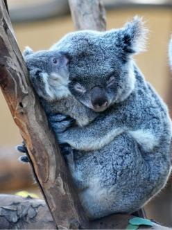 Animal Parents And Babies Will Make Your Day Better (PHOTOS):  Native Bear, Koalabear,  Koala Bear, Mother, Koala Hug, Baby Animal,  Kangaroo Bear, Adorable Animal