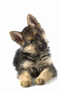 Baby German Shepard   ...........click here to find out more     http://googydog.com: Doggie, German Shepards,  German Police Dog,  Alsatian, German Shepherd Pups, Baby German Shepherds, German Shepherd Puppies,  German Shepherd Dog