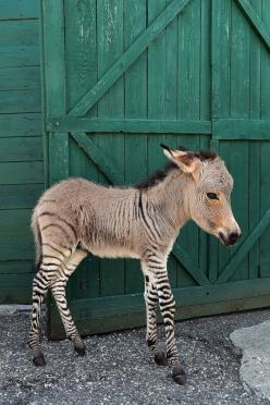 Baby Zonkey - foal of a male zebra and female donkey: Baby Zebra, Zebra Donkey, Zonkey Zebra, Female Donkey, Male Zebra, Baby Zonkey, Baby Animals, Adorable Animal